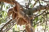Mandelfrucht2